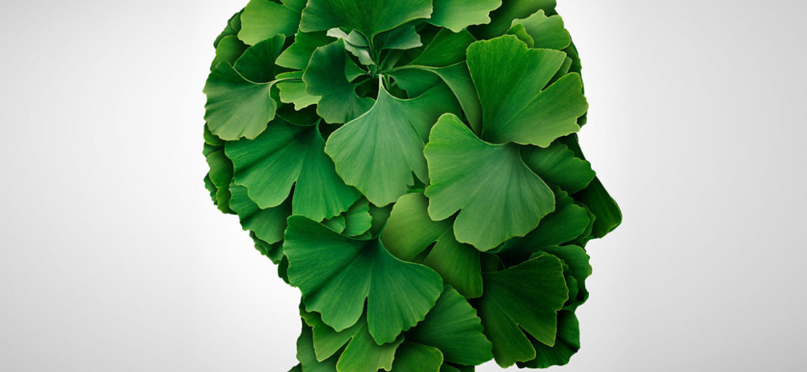 Ginko Biloba - How It Helps Memory and Circulation
